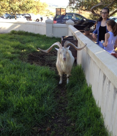 The iconic Fairview goat