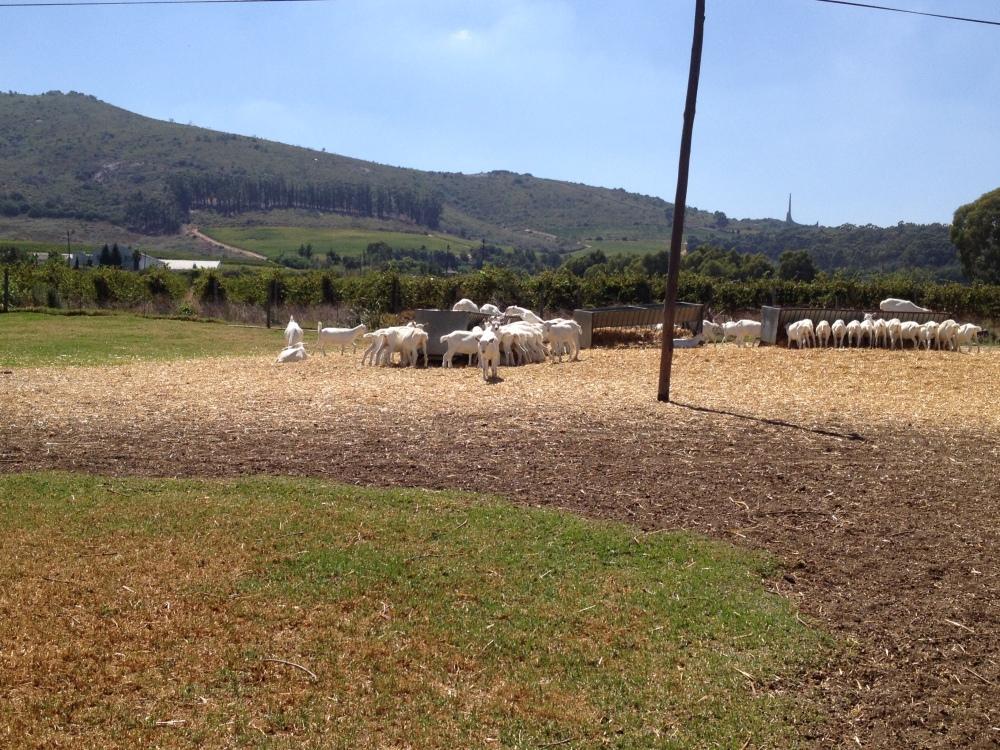 Famous Fairview Goats